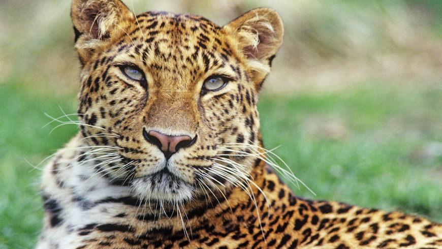 Amurleopard (Panthera pardus orientalis) lebte ehemals im Nordosten Chinas, dem nördlichen Korea und im Südwesten Russlands. Er ist heute vom Aussterben bedroht.
